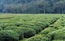 Het landbouwbedrijf van de thee van longjinthee Stock Foto's