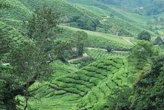 Het landbouwbedrijf van de theeboom Stock Afbeelding