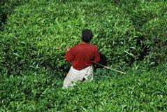 Het landbouwbedrijf van de theeboom Stock Afbeeldingen