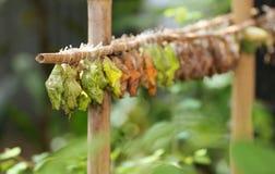 Het Landbouwbedrijf van de vlinder Stock Foto's