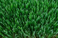 Het landbouwbedrijf van de Wheatgrassspruit Royalty-vrije Stock Foto's