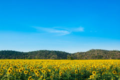Het landbouwbedrijf van de zonbloem Royalty-vrije Stock Afbeeldingen