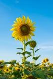Het landbouwbedrijf van de zonbloem Stock Foto's
