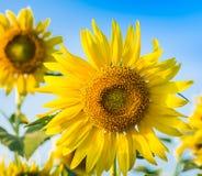 Het landbouwbedrijf van de zonbloem Stock Foto