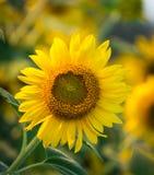Het landbouwbedrijf van de zonbloem Stock Afbeelding