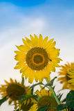 Het landbouwbedrijf van de zonbloem Stock Fotografie