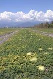 Het landbouwbedrijf van het fruit, watermeloen. Stock Afbeeldingen