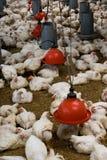 Het landbouwbedrijf van het gevogelte (vogelhuis) Stock Afbeeldingen