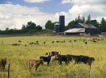 Het Landbouwbedrijf van het vee royalty-vrije stock afbeelding