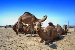 Het landbouwbedrijf van kamelen Stock Foto