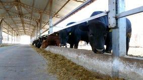 het landbouwbedrijf van het landbouwvee of boerderij een grote koeiestal, schuur De rij van koeien, groot zwart rasdier, het kwek stock footage