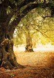 Het landbouwbedrijf van olijfbomen stock afbeelding