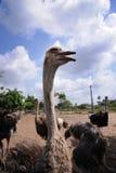 Het landbouwbedrijf van Ostrichâs Royalty-vrije Stock Foto