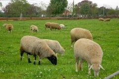 Het Landbouwbedrijf van schapen stock afbeeldingen