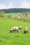 Het landbouwbedrijf van schapen Royalty-vrije Stock Afbeelding