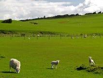 Het landbouwbedrijf van schapen Stock Foto's
