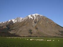Het landbouwbedrijf van schapen royalty-vrije stock afbeeldingen