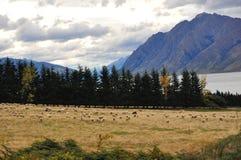 Het Landbouwbedrijf van schapen in Nieuw Zeeland Royalty-vrije Stock Fotografie