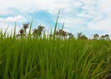 Het landbouwbedrijf van Thai Stock Foto's