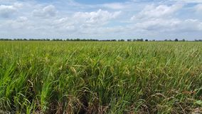 Het landbouwbedrijf van Thai Stock Fotografie