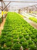 Het landbouwbedrijf van Vegatable Stock Foto's