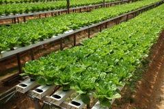 Het landbouwbedrijf van Vegatable Stock Afbeelding