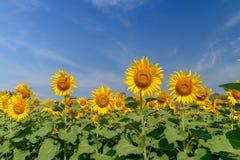 Het landbouwbedrijf van het zonnebloemengebied met blauwe hemel stock foto