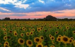 Het landbouwbedrijf van het zonnebloemengebied op avond in Lop buri royalty-vrije stock afbeelding
