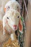Het landbouwbedrijf. Witte schapen stock foto