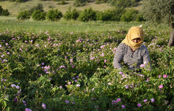 Het landbouwbedrijfarbeider van rozen Stock Afbeeldingen