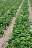 Het landbouwbedrijfgebied van aardbeien stock foto's