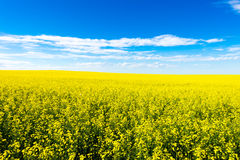 Het landbouwbedrijfgebied van het Canolagewas tijdens de zomer stock fotografie