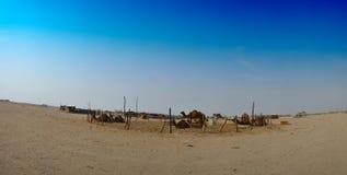 Het landbouwbedrijfpanorama van kamelen Stock Afbeelding