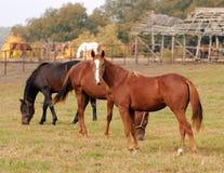Het landbouwbedrijfscène van paarden Stock Afbeeldingen