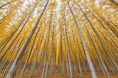 Het Landbouwbedrijfsymmetrie van de populierboom in Oregon stock foto