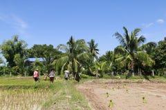 Het landbouwerswerk aangaande padieveld Royalty-vrije Stock Foto's