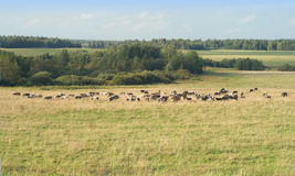 Het landelijke de zomerlandschap met koeien weidt op grasslan Royalty-vrije Stock Afbeelding