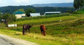 Het landelijke leven: paarden het weiden stock foto