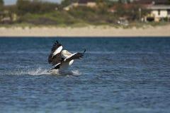 Het landen van de pelikaan Royalty-vrije Stock Fotografie