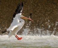Het landen van de pelikaan Stock Afbeelding
