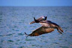 Het Landen van de pelikaan Stock Foto's