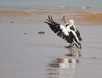 Het landen van de pelikaan Royalty-vrije Stock Afbeelding