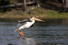 Het landen van de pelikaan Stock Fotografie