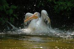 Het landen van pelikaan Royalty-vrije Stock Foto's