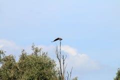 Het landen van wit-De steel verwijderde adelaar dichtbij rivier IJssel, Nederland Stock Foto