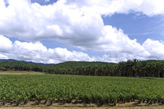 Het Landgoed van de Palm van de olie Royalty-vrije Stock Afbeelding