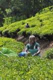 Het landgoed van de thee Stock Fotografie