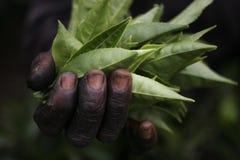 Het landgoedarbeiders van de thee Stock Afbeeldingen