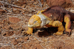 Het landleguaan van de Galapagos Royalty-vrije Stock Fotografie