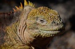 Het Landleguaan van de Galapagos (Conolophus-subcristatus) Stock Afbeeldingen